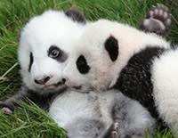 Protectores de los Pandas